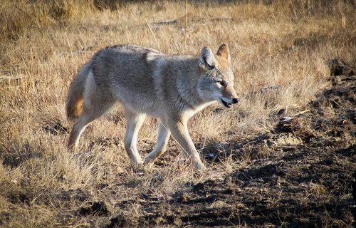 canada coyote photo