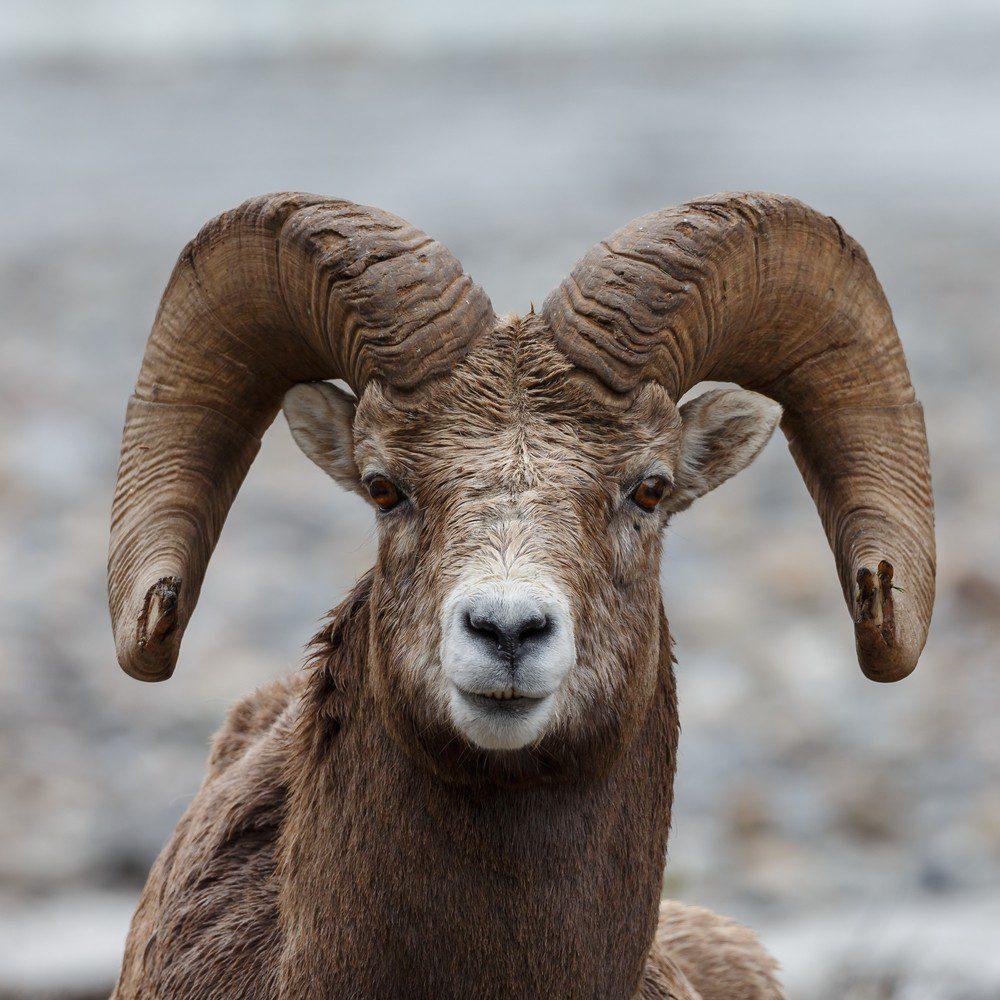 Bighorn Sheep Banff