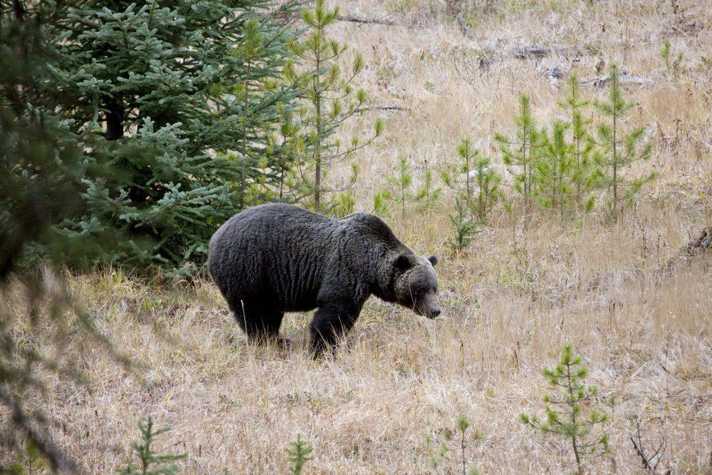 Wild Grizzly Bear Banff