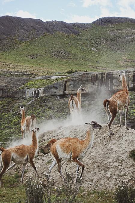 Patagonia Torres del Paine guanacos