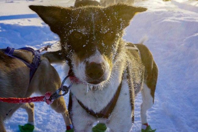 Finnish Lapland Dog Sledding