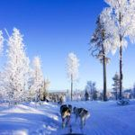 A Spectacular Day Dog Sledding in Finnish Lapland with Bearhill Husky