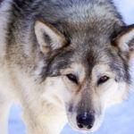 Meet the Wolfdogs at the Yamnuska Wolfdog Sanctuary