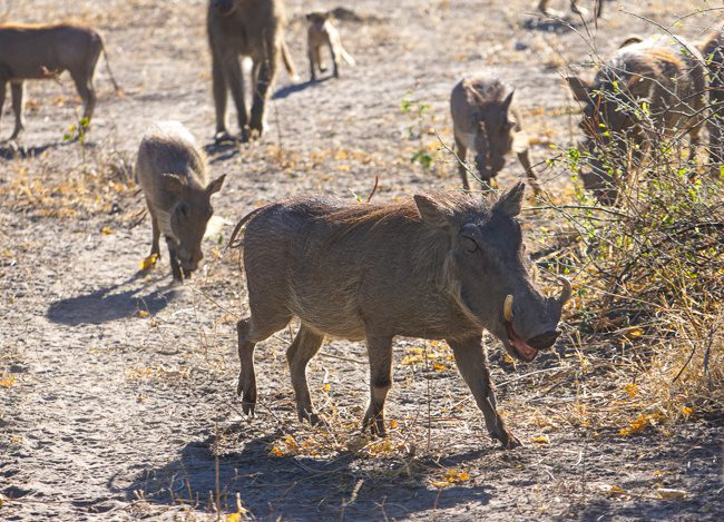 Intrepid Africa A warthog in Botswana at Chobe NP