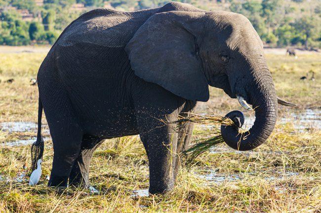 Intrepid Tours Botswana Chobe National Park Elephant