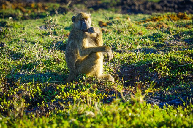Intrepid Travel Reviews Okavango Experience Tour A baboon in Botswana Chobe NP