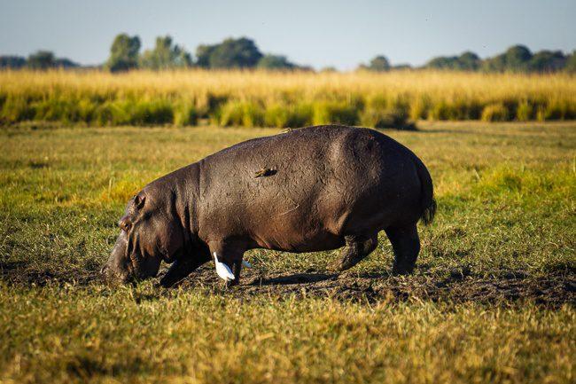 Intrepid Botswana Hippo