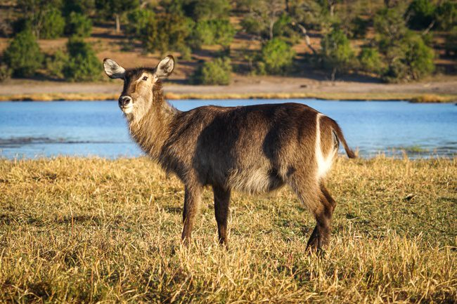 Botswana Chobe water buck