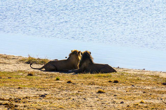Intrepid safaris Botswana Chobe lions