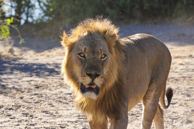 Okavango Experience tour Botswana Chobe NP Lion
