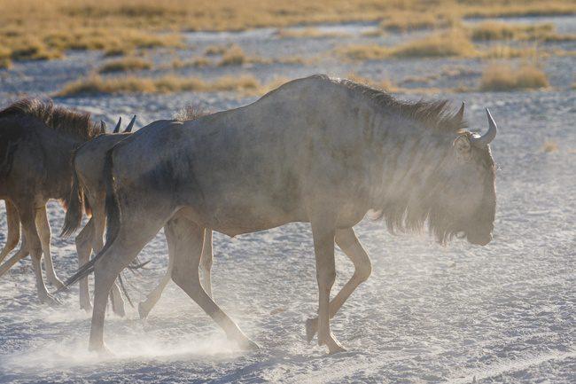 Intrepid Africa Botswana Nata Salt Pans Wildebeest