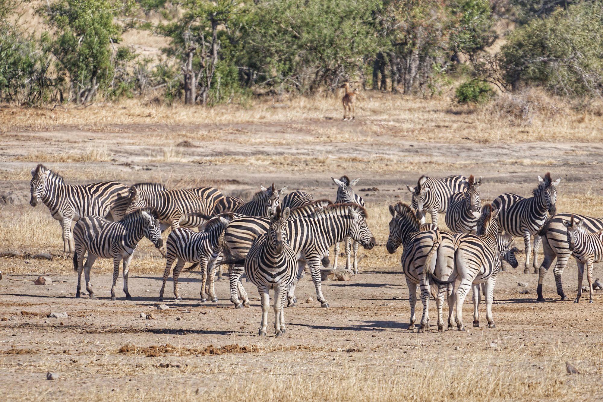 Kruger National Park South Africa Zebras
