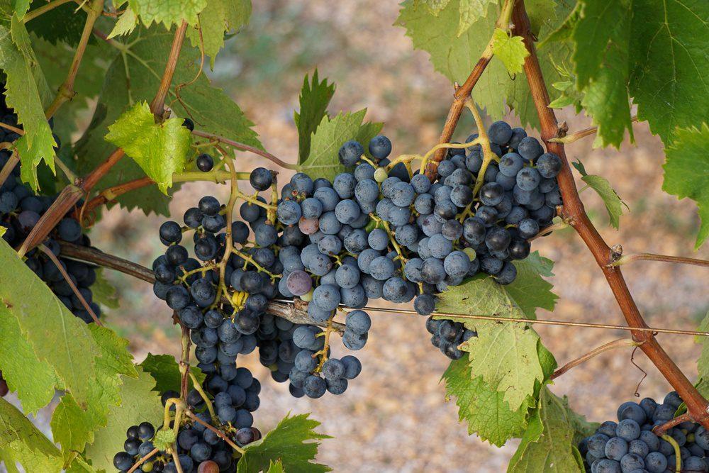 puglia vineyard