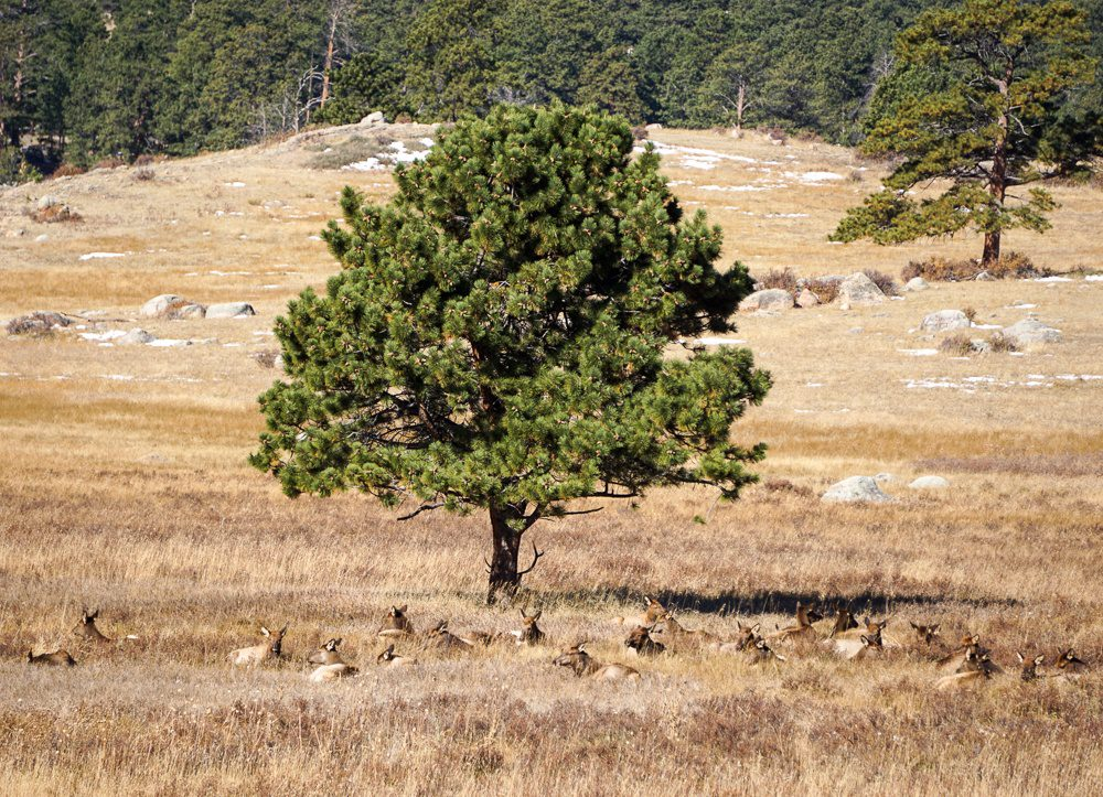 Rocky Mountain National Park in Estes Park Colorado with an elk herd