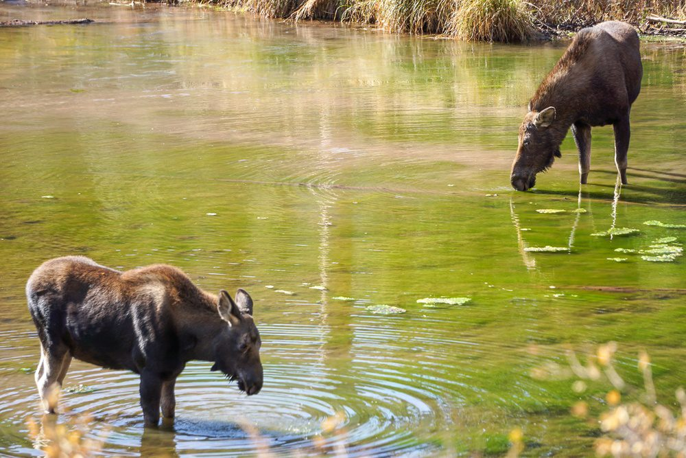 Kebler Pass Colorado Moose with her baby